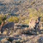 Wild burros near Blue Diamond, Nevada